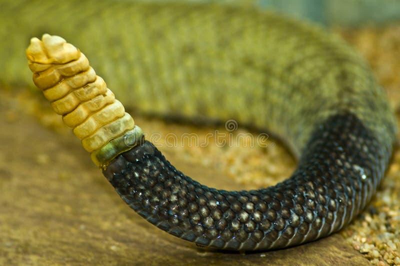 Crepitio di un rattlesnake fotografie stock libere da diritti