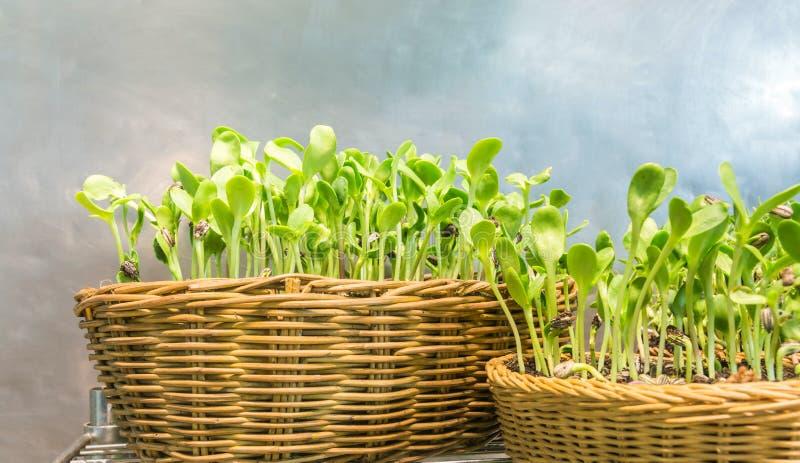Cresça facilmente brotos internos do girassol na matéria têxtil do rattan foto de stock royalty free