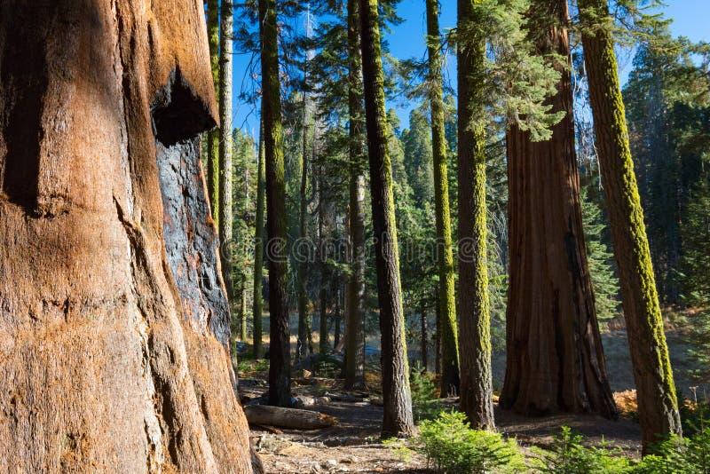 Crescent Meadow Picnic Area. Trees surrounding Crescent Meadow picnic area in Sequoia National Park, California, USA stock image