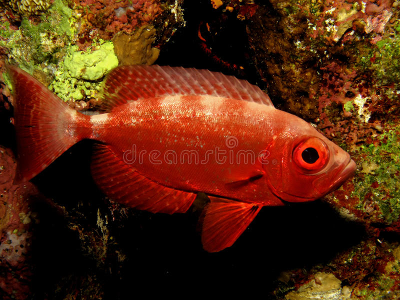 Download Crescent tail Bigeye stock image. Image of ocean, tail - 15085207