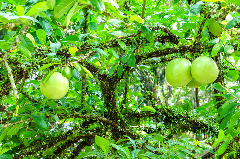 Crescentia cujete na kalabasy drzewie obrazy stock