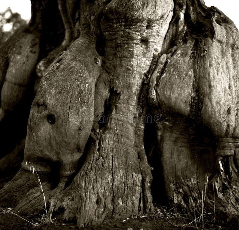 Crescimento abstrato baseado no tronco das azeitonas velhas foto de stock