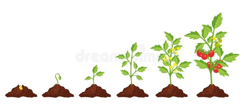 Crescimento da fase do tomate ilustração do vetor