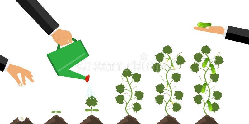 Crescimento da planta da germinação à maturação O conceito da plantação e do inquietação com a planta Cultivo do pepino ilustração royalty free