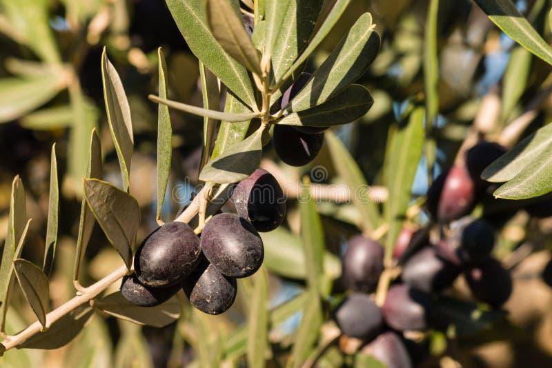 Crescimento de azeitonas pretas maduro no ramo de oliveira fotografia de stock royalty free