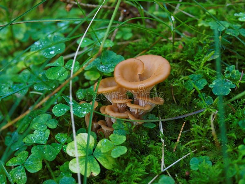 Crescimento de cogumelo em gramas molhadas imagens de stock