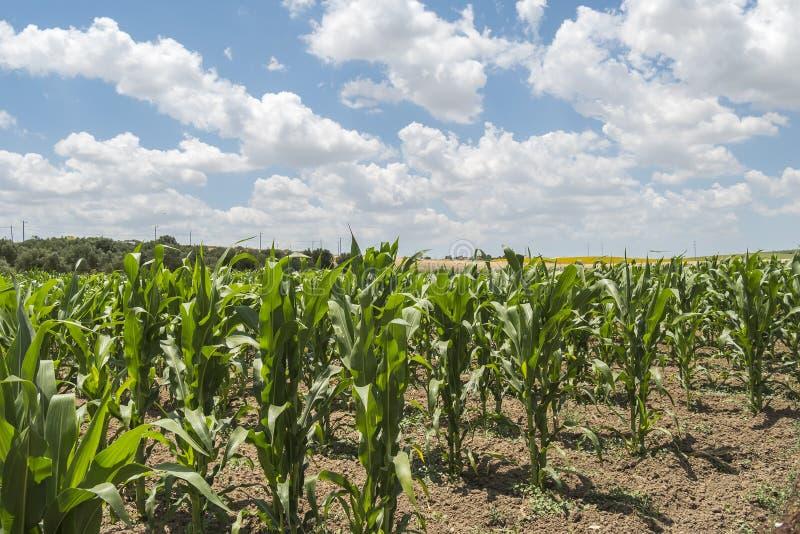 Crescimento de colheita do milho imagens de stock royalty free