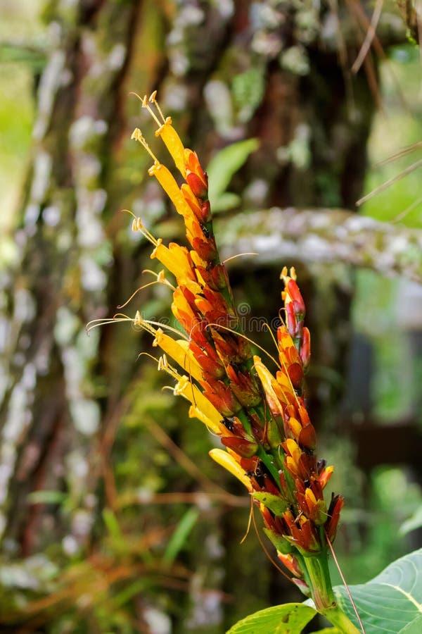 Crescimento de flor alaranjado amarelo de Sanchezia na floresta em Fraser's h imagens de stock royalty free
