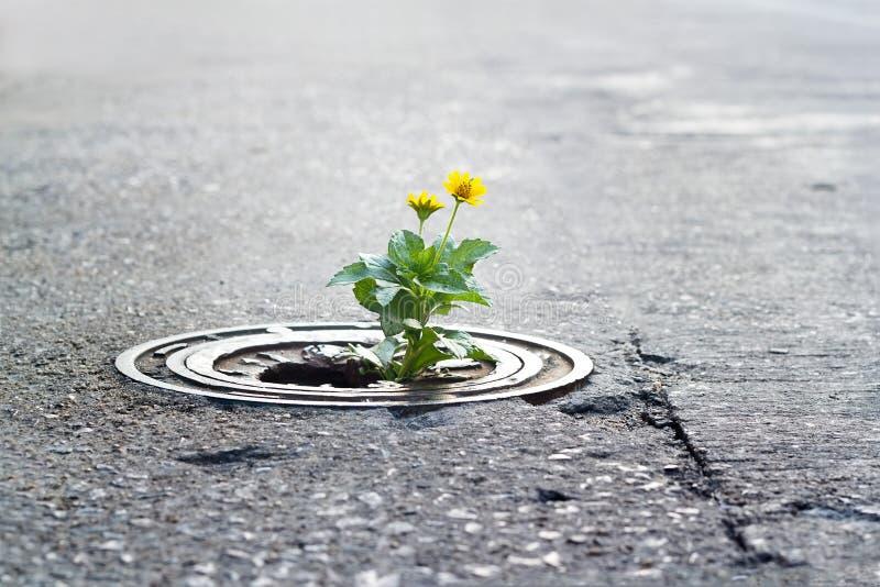 Crescimento de flor amarelo em tubulação quebrada do metal na rua imagens de stock royalty free