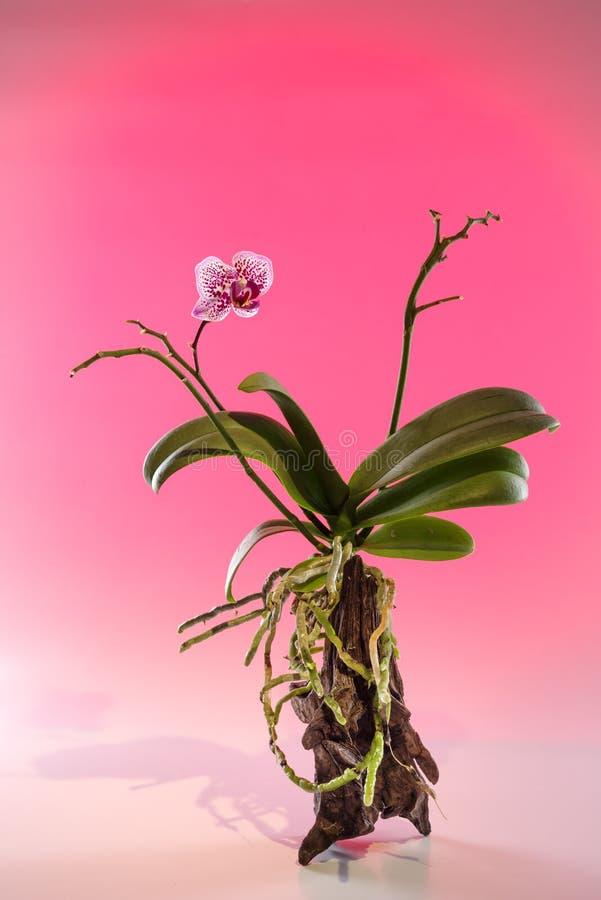 Crescimento de flor bonito da orquídea em uma árvore natural imagens de stock royalty free