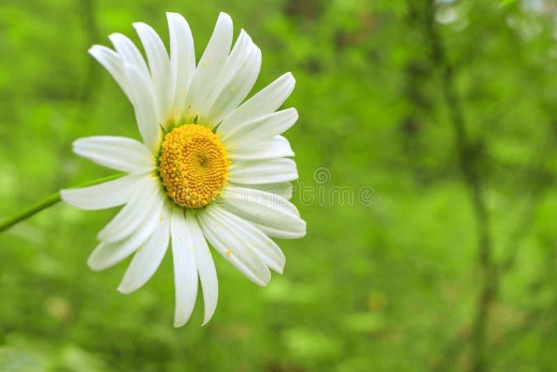 Crescimento de flor da margarida em um campo imagem de stock royalty free