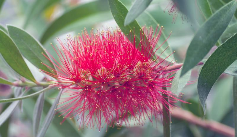 Crescimento de flor exótico macio vermelho de Callistemon no jardim fotografia de stock royalty free