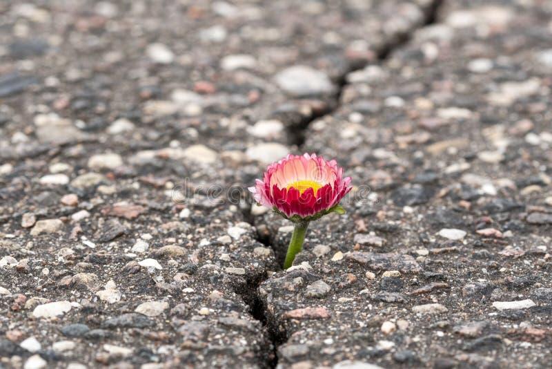 Crescimento de flor na rua da quebra fotografia de stock royalty free