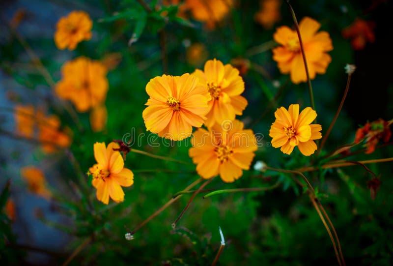 Crescimento de flores alaranjado brilhante bonito do cosmos no jardim foto de stock royalty free