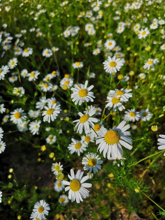 Crescimento de flores alemão da camomila em um campo verde imagens de stock