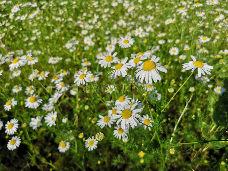 Crescimento de flores alemão da camomila em um campo verde fotos de stock