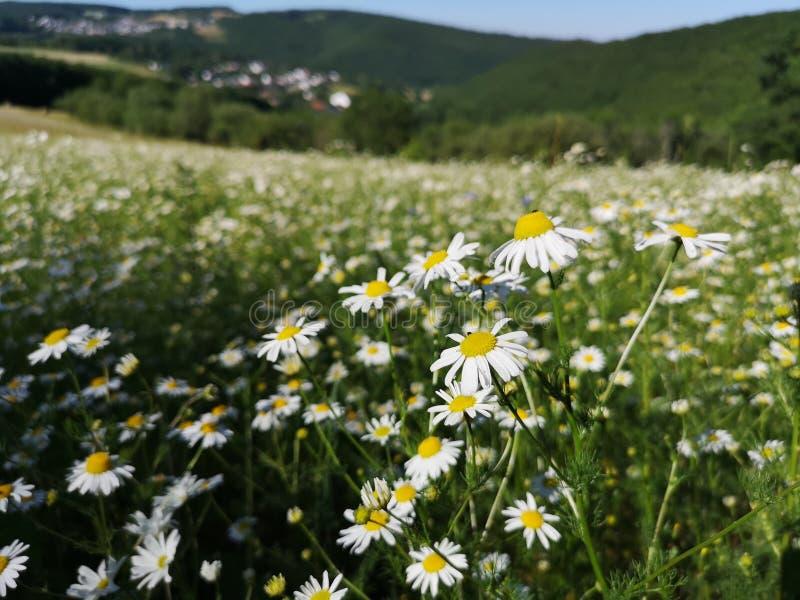 Crescimento de flores alemão da camomila em um campo verde fotografia de stock
