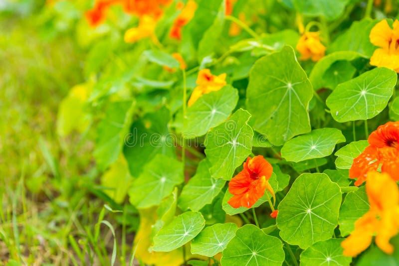 Crescimento de flores bonito da chagas e florescência no jardim fotografia de stock