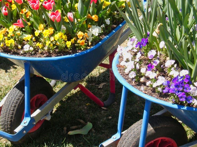 Crescimento de flores colorido em uns carrinhos de mão de roda azuis fotos de stock