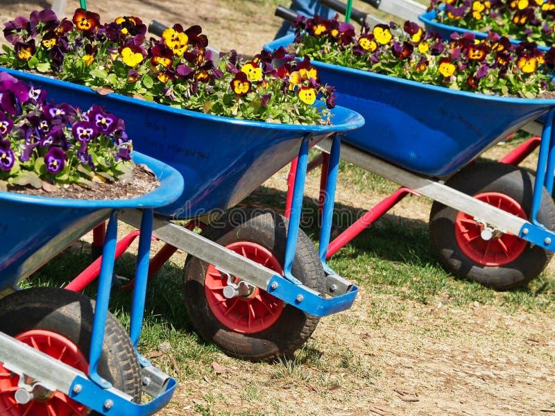 Crescimento de flores colorido em uns carrinhos de mão de roda azuis imagens de stock