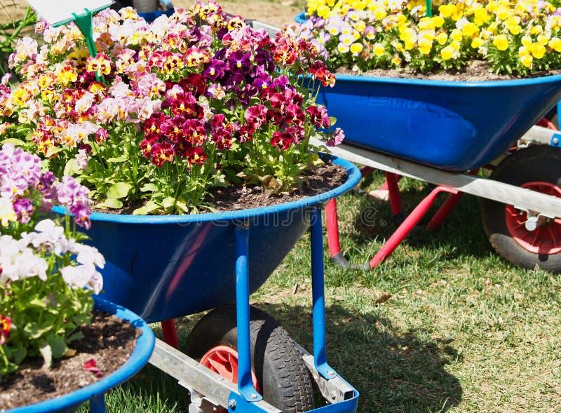 Crescimento de flores colorido em uns carrinhos de mão de roda azuis fotografia de stock royalty free