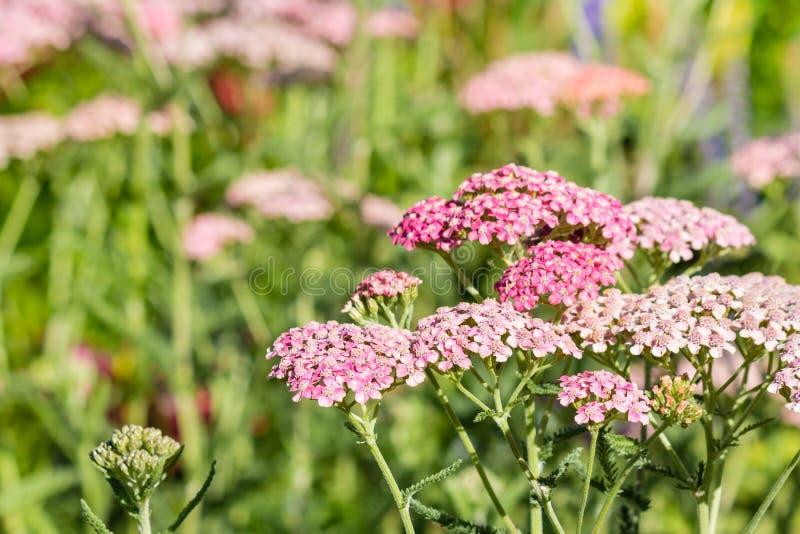 Crescimento de flores cor-de-rosa do yarrow no prado foto de stock royalty free