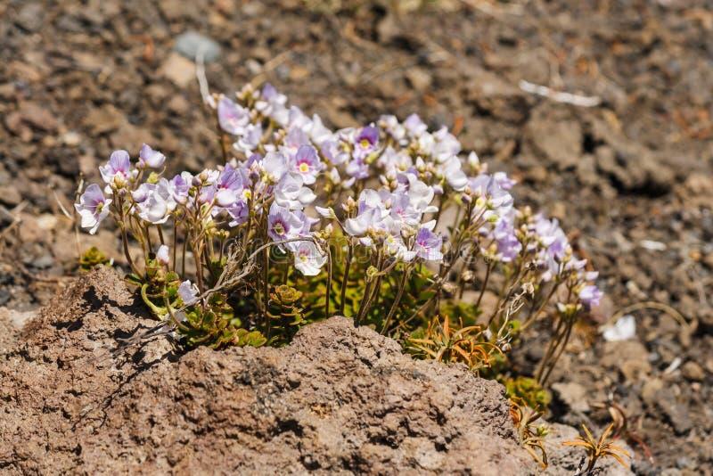 Crescimento de flores cor-de-rosa em rochas vulcânicas imagens de stock