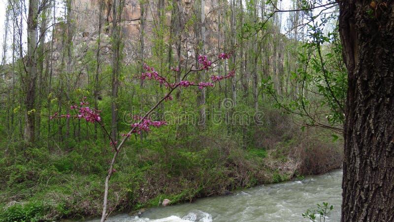 Crescimento de flores cor-de-rosa no vale de Ihlara em Cappadocia fotos de stock royalty free