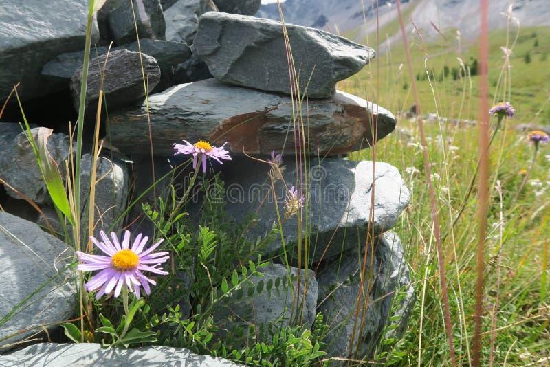Crescimento de flores do campo da montanha na rocha fotos de stock royalty free
