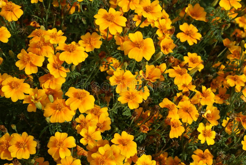 Crescimento de flores do tenuifolia de Tagetes em um jardim foto de stock royalty free