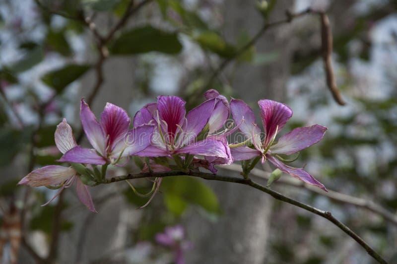 Crescimento de flores havaiano no membro de árvore, Havaí, EUA fotos de stock royalty free