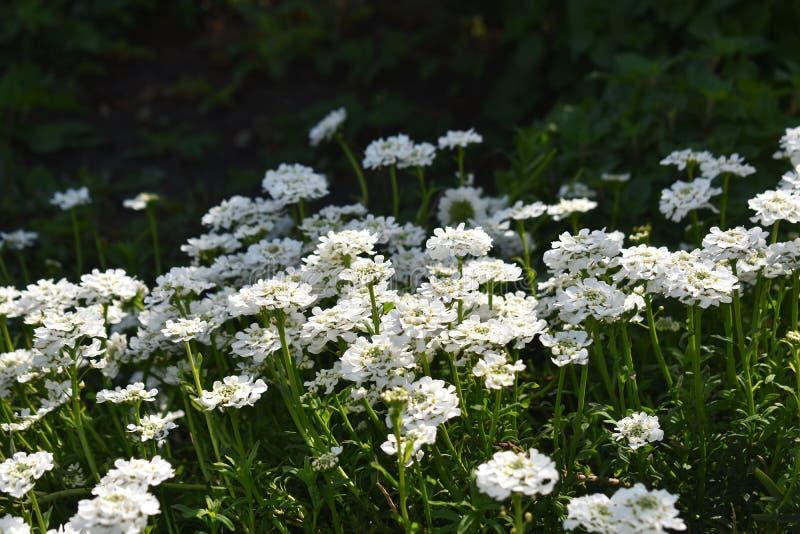 Crescimento de flores de Sempervirens do Iberis no parque foto de stock