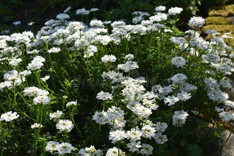 Crescimento de flores de Sempervirens do Iberis no parque foto de stock royalty free
