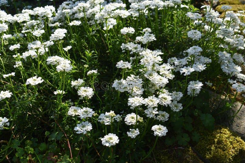 Crescimento de flores de Sempervirens do Iberis no parque imagem de stock