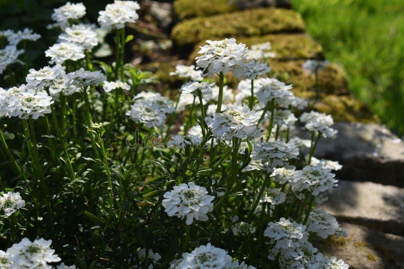 Crescimento de flores de Sempervirens do Iberis no parque fotografia de stock