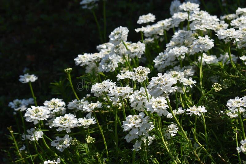 Crescimento de flores de Sempervirens do Iberis no parque imagem de stock royalty free