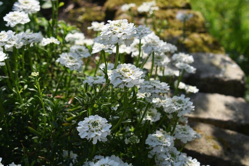 Crescimento de flores de Sempervirens do Iberis no parque imagens de stock royalty free