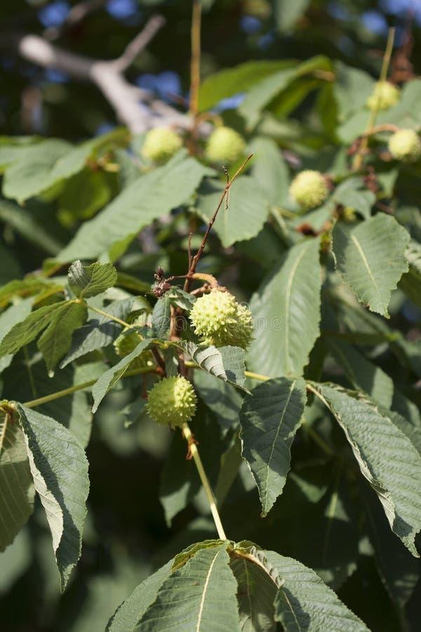 Crescimento de fruta Spiky na árvore imagens de stock royalty free