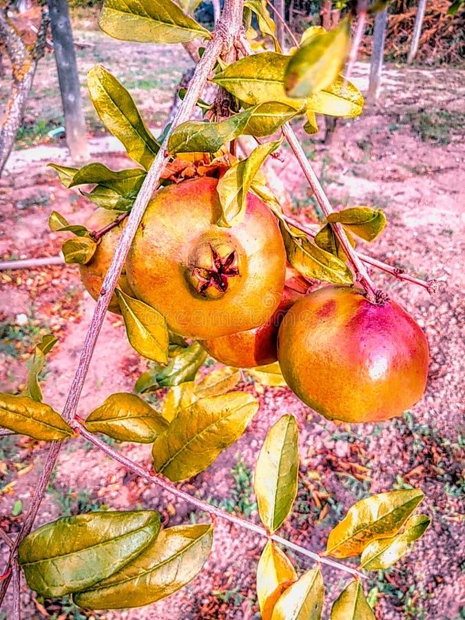 Crescimento de fruto da romã em uma árvore foto de stock