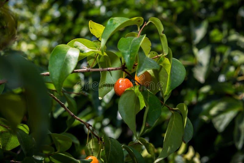 Crescimento de fruto do Pitanga em uma árvore imagem de stock