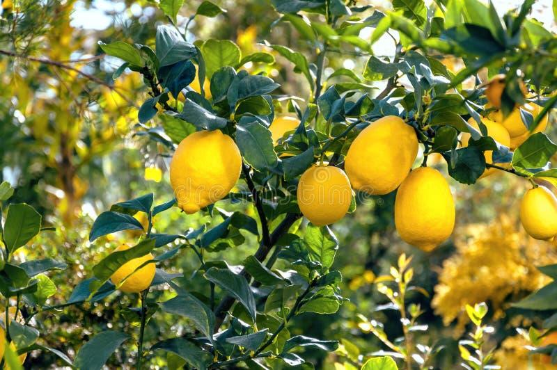 Crescimento de frutos brilhante em uma árvore, dia ensolarado do limão fotografia de stock royalty free