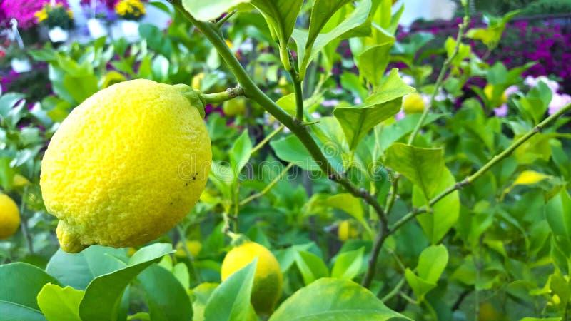 crescimento de frutos do limão na árvore em um jardim fotografia de stock