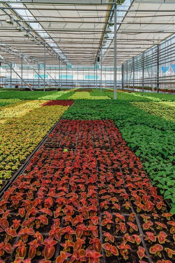 Crescimento de plantas decorativas, de arbustos e de flores para jardinar na estufa hidropônica moderna com sistema de controlo d fotografia de stock royalty free