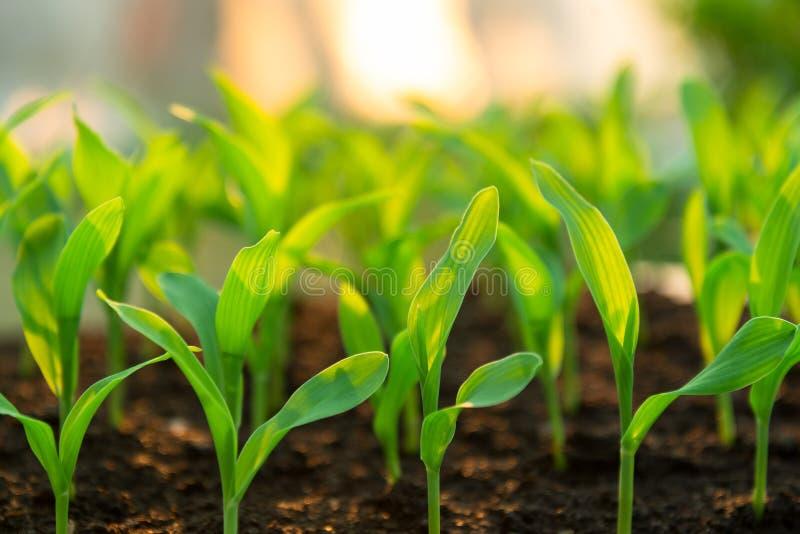 Crescimento de semeação da planta fresca da agricultura no jardim fotos de stock
