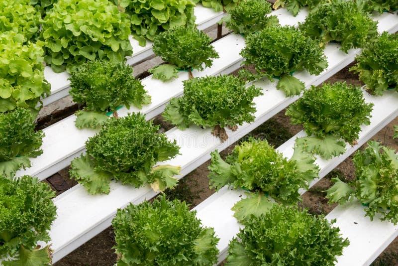 Crescimento de vegetais hidropônico na estufa fotos de stock