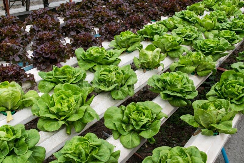 Crescimento de vegetais hidropônico na estufa imagens de stock royalty free