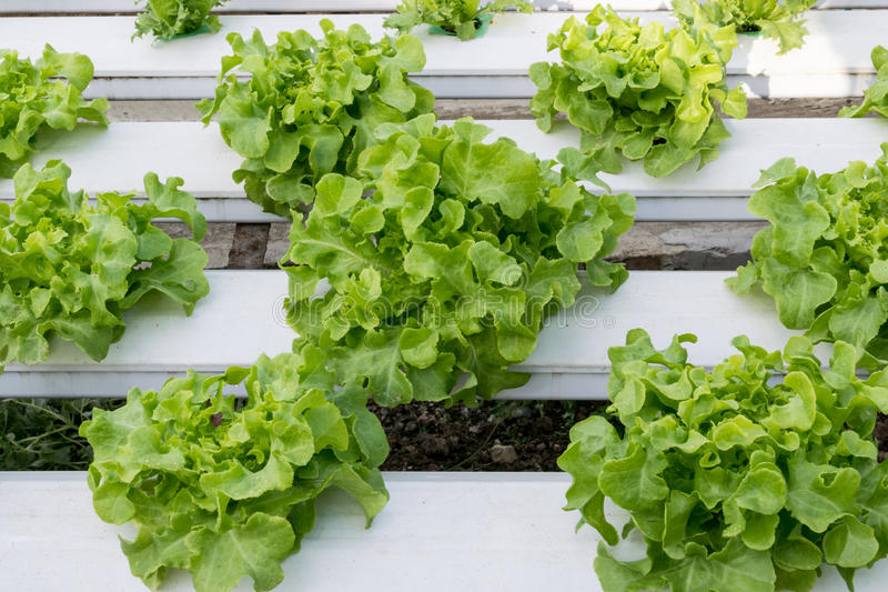 Crescimento de vegetais hidropônico na estufa foto de stock royalty free