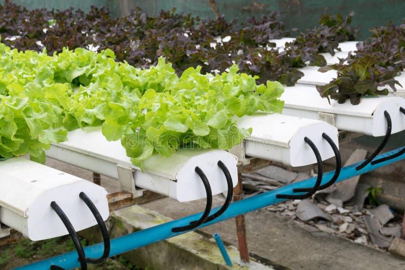 Crescimento de vegetais hidropônico na estufa foto de stock