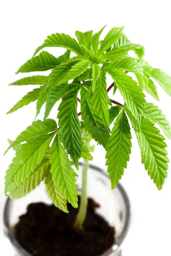 Crescimento do cannabis fotos de stock royalty free