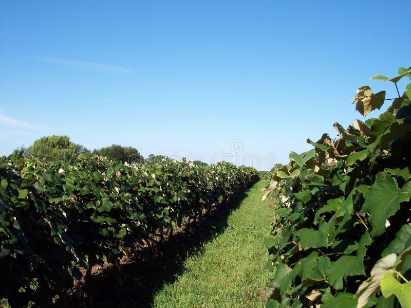 Crescimento do vinhedo foto de stock